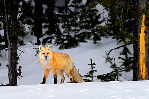 RF - Red fox (Vulpes vulpes) on the edge of coniferous forest. Yellowstone National Park, USA. January (This image may be licensed either as rights managed or royalty free.)  -  Nick Garbutt