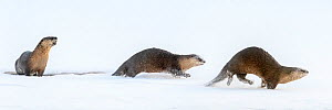 RF - North American river otters (Lontra canadensis) (probably female with two juveniles) on the frozen river edge.Yellowstone National Park, USA. January. Digitally stitched image. (This image may be...  -  Nick Garbutt