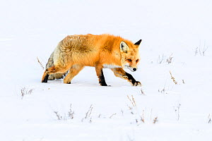RF - Red fox (Vulpes vulpes) walking through deep winter snow. Yellowstone National Park, USA. January (This image may be licensed either as rights managed or royalty free.)  -  Nick Garbutt