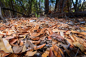 RF - Madagascar ground boa (Acrantophis madagascariensis) lying waiting in ambush on leaf litter on forest floor. Kirindy Forest, western Madagascar. (This image may be licensed either as rights manag...  -  Nick Garbutt