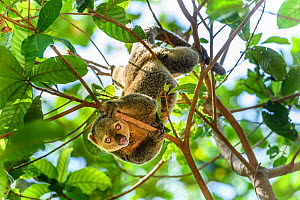 RF - Sulawesi bear cuscus (Ailurops ursinus) in forest canopy. Tangkoko National Park, Sulawesi. (This image may be licensed either as rights managed or royalty free.)  -  Nick Garbutt