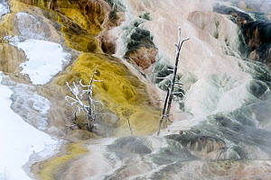 RF - Petrified trees and travetine cascade. Geothermal feature at Mammoth Hot Springs. Yellowstone National Park, USA. (This image may be licensed either as rights managed or royalty free.)  -  Nick Garbutt