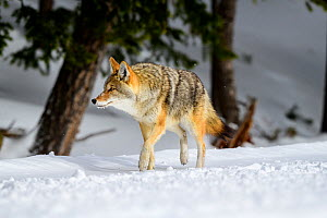 RF - coyote (Canis latrans) walking through woodland in winter. Yellowstone National Park, Wyoming, USA. January. (This image may be licensed either as rights managed or royalty free.)  -  Nick Garbutt