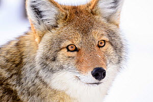 RF - Portrait of Coyote (Canis latrans) Yellowstone National Park, Wyoming. January. (This image may be licensed either as rights managed or royalty free.)  -  Nick Garbutt