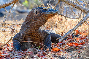 RF - Komodo dragon (Varanus komodoensis) male. Rinca Island, Komodo National Park. Endangered. (This image may be licensed either as rights managed or royalty free.)  -  Nick Garbutt