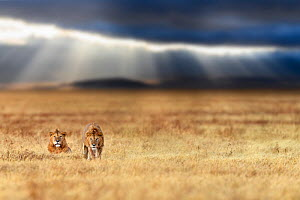 RF - Lion (Panthera leo) two males on savanna with dramatic storm clouds, thundery sky and light rays in the background. Ngorongoro Crater, Tanzania. Composite image. (This image may be licensed eithe... - Nick Garbutt