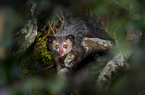 RF - Aye-aye (Daubentonia madagascariensis) foraging in forest canopy at night. Madagascar. Critically Endangered. (This image may be licensed either as rights managed or royalty free.)  -  Nick Garbutt