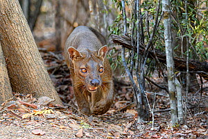 RF - Fosa / Fossa (Cryptoprocta ferox) in dry deciduous forest. Madagascar. Endangered. (This image may be licensed either as rights managed or royalty free.)  -  Nick Garbutt
