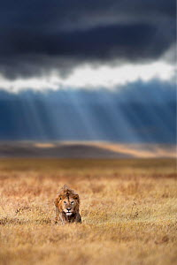 RF - Lion (Panthera leo) male on savanna with dramatic storm clouds, thundery sky and light rays in the background. Ngorongoro Crater, Tanzania. Composite image. (This image may be licensed either as... - Nick Garbutt