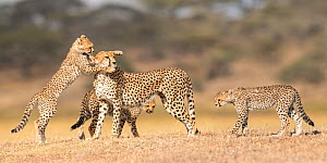 RF - Cheetah (Acinonyx jubatus) female playing with three cubs (age around 5 months) Ngorongoro Conservation Area, Tanzania. (This image may be licensed either as rights managed or royalty free.) - Nick Garbutt