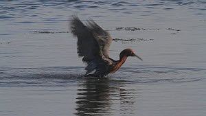 Reddish egret (Egretta rufescens) bathing in a salt marsh, Bolsa Chica Ecological Reserve, Southern California, USA, August.  -  John Chan