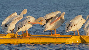 American white pelicans (Pelecanus erythrorhynchos) preening, perched on a boom, Bolsa Chica Ecological Reserve, Southern California, USA, August.  -  John Chan