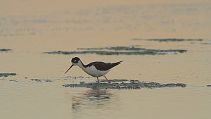 Black-necked stilt (Himantopus mexicanus) foraging for aquatic invertebrates in a tidal basin at twilight, Bolsa Chica Ecological Reserve, Southern California, USA, August.  -  John Chan