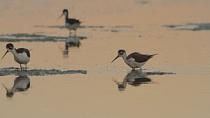 Pair of Black-necked stilts (Himantopus mexicanus) and juvenile foraging for aquatic invertebrates in a tidal basin at twilight, Bolsa Chica Ecological Reserve, Southern California, USA, August.  -  John Chan