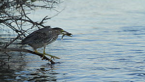 Juvenile Green heron (Butorides virenscens) catching fish from perch over a tidal inlet, Bolsa Chica Ecological Reserve, Southern California, USA, August.  -  John Chan