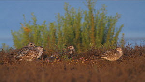 Grey plovers (Pluvialis squatarola) roosting on a sand dune, Bolsa Chica Ecological Reserve, Southern California, USA, September.  -  John Chan