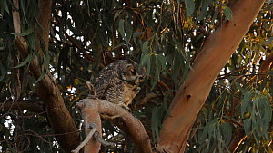 Great horned owl (Bubo virginianus) nibbling on a leaf, Bolsa Chica Ecological Reserve, Southern California, USA, September.  -  John Chan