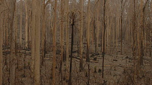 Tracking shot between burnt trees in Boyne State Forest, Batemans Bay, New South Wales, Australia, January 2020. Damage caused by bushfire.  -  David Gallan