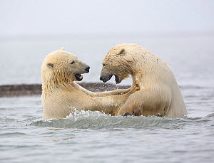 Polar bear (Ursus maritimus) two juvenile siblings play-fiighting in the Beaufort Sea, Kaktovik, Alaska, USA. October.  -  Diane McAllister