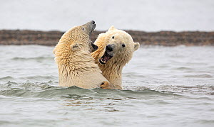 Polar bear (Ursus maritimus) two juvenile siblings play-fighting in the waters of the Beaufort Sea near Kaktovik, Alaska, USA. October.  -  Diane McAllister