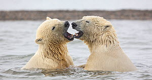 Polar bear (Ursus maritimus) two juvenile siblings with mouths open, after play-fighting in Beaufort Sea, Kaktovik, Alaska, USA. October.  -  Diane McAllister