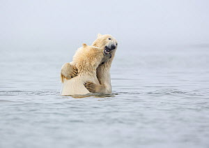 Polar bear (Ursus martimus) two juvenile siblings embracing after playfighting in the Beaufort Sea, Kaktovik, Alaska, USA. October.  -  Diane McAllister