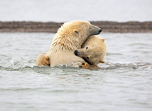 Polar bear (Ursus maritimus) appears to be biting the neck of its sibling, while wrestling in the Beaufort Sea, Kaktovik, Alaska, USA. October.  -  Diane McAllister
