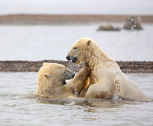 Polar bear (Ursus maritimus) attempts to climb onto its sibling, who has fallen over while play-fighting in the Beaufort Sea, Kaktovik, Alaska, USA. October.  -  Diane McAllister