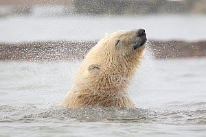 Polar bear (Ursus maritimus) juvenile shakes its head while in the Beaufort Sea, Kaktovik Alaska, USA. October.  -  Diane McAllister