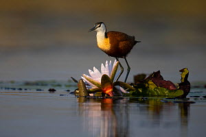 African jacana (Actophilornis africana) feeding on water lily bud, Moremi National Park, Botswana, - Pedro  Narra