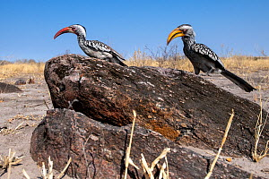 Red-billed Hornbill (Tockus erythrorhynchus), and a Southern yellow-billed hornbill (Tockus leucomelas), Moremi Game Reserve, Botswana.  -  Pedro  Narra
