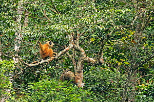 Cao-vit gibbon (Nomascus nasutus) female sitting in rainforest tree, Cao Vit Gibbon Species and Habitat Conservation Area (CVGSHCA), Trung Khanh, Cao Bang Province, northern Vietnam. Critically endang... - Fauna & Flora International / Ryan Deboodt