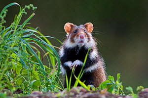 European hamster (Cricetus cricetus), Alsace, France. Controlled conditions  -  Klein & Hubert