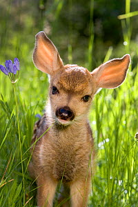 Mule deer (Odocoileus hemionus) fawn in summer, Wyoming, USA.  -  Klein & Hubert