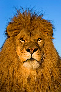Lion (Panthera leo) male portrait, South Africa.  -  Klein & Hubert