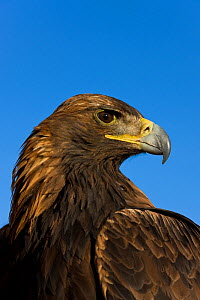 Golden eagle (Aquila chrysaetos) portrait, belonging to an eagle hunter, Altai, Mongolia. Model released.  -  Klein & Hubert