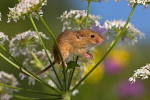 Harvest mouse (Micromys minutus) climbing in hogweed in summer, (Heracleum sphondylium), France,  Controlled conditions.  -  Klein & Hubert