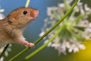Harvest mouse (Micromys minutus) climbing on Hogweed (Heracleum sphondylium) in summer, France. Controlled conditions.  -  Klein & Hubert