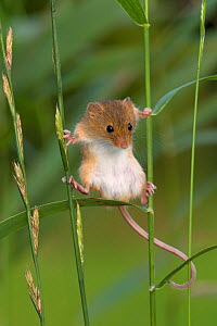 Harvest mouse (Micromys minutus) climbing between grass stems in summer, France, Controlled conditions. - Klein & Hubert