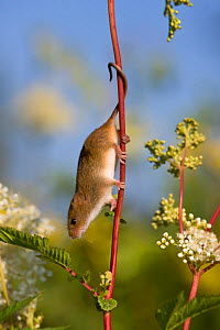 Harvest mouse (Micromys minutus) exploring in meadowsweet, using his prehensile tail, (Filipendula ulmaria), France, Controlled conditions.  -  Klein & Hubert