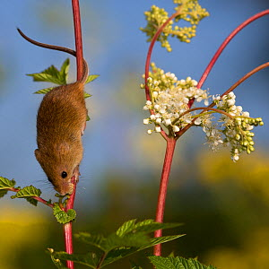 Harvest mouse (Micromys minutus) exploring Meadowsweet plant (Filipendula ) using his prehensile tail, France, Controlled conditions.  -  Klein & Hubert