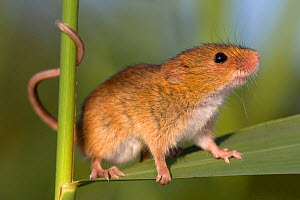 Harvest mouse (Micromys minutus) in reeds, France, Controlled conditions.  -  Klein & Hubert