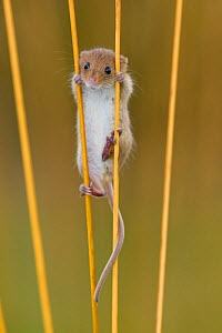 Harvest mouse (Micromys minutus) climbing between grass stems in fall, France, Controlled conditions.  -  Klein & Hubert