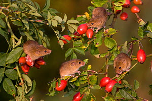 Young Harvest mice (Micromys minutus) climbing in dog rose bush in fall, , (Rosa canina) France. Controlled conditions.  -  Klein & Hubert