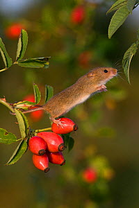 Harvest mouse (Micromys minutus) climbing in dog rose bush in fall,(Rosa canina) France, Controlled conditions.  -  Klein & Hubert