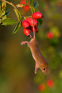 Harvest mouse (Micromys minutus) climbing in dog rose bush in fall, using his prehensile tail, (Rosa canina) France, Controlled conditions.  -  Klein & Hubert