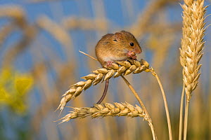 Harvest mouse (Micromys minutus) in cornfield in summer, feeding on grain, France, Controlled conditions.  -  Klein & Hubert