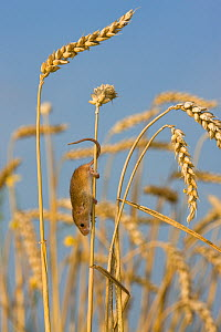 Harvest mouse (Micromys minutus) in cornfield in summer, using prehensile tail , France, Controlled conditions.  -  Klein & Hubert