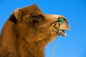 Domestic Bactrian camel - portrait, with rope through nostrils, Altai, Mongolia.  -  Klein & Hubert