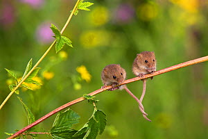 Young Harvest mice (Micromys minutus) exploring in meadowsweet, (Filipendula ulmaria), France. Controlled conditions.  -  Klein & Hubert